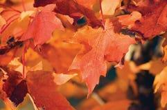 Acer-grandidentatum Nutt roter bigtooth Ahorn, Herbstthema, große ausführliche Makronahaufnahme Stockbild