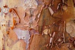 Acer Griseum, Barkenahornbaum abziehend Lizenzfreies Stockbild