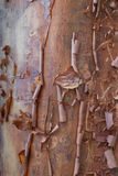 Acer Griseum, peeling bark maple tree Royalty Free Stock Photos