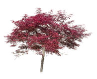 Acer, Japanese maple ornamental tree isolated on white. Stock Images