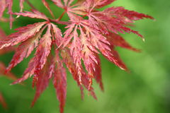 Acer japonicum. From the Sochi's Dendrarium garden Royalty Free Stock Image