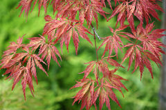 Acer japonicum. From the Sochi's Dendrarium garden Stock Images