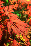 Acer japonicum. A photo of a beautiful red leaf from the Fernleaf full-moon maple Royalty Free Stock Photography