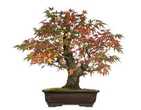 Acer japonicum bonsai tree, isolated Stock Photo