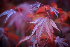Acer japonicum puchaty klon fotografia royalty free