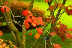 Acer japonicum Stock Photo