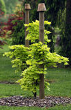Acer japonicum young plant. Acer japonicum young tree planting in to the shadow position ornamental garden Stock Photography