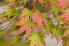 acer jesień liść Zdjęcia Royalty Free