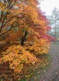 Acer-kleur in de herfstscène Royalty-vrije Stock Foto