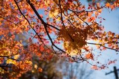 Acer lönn i de höstliga blåa bergen, Australien Royaltyfria Foton