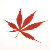 Acer leaf Royalty Free Stock Photos