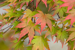 Acer leaves autumn. Acer palmatum autumn tree foliage Royalty Free Stock Photos