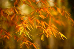 Acer Leaves in the Autumn Royalty Free Stock Photos