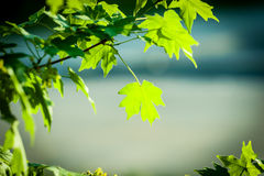 Acer Leaves on Blurred Background Royalty Free Stock Images