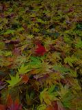 Acer Leaves deep Autumn colours Stock Photo