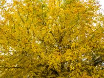 Acer mandschuricum. Yellow-green leaves on a tree royalty free stock image