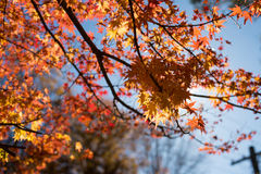 Acer Maple in the autumnal Blue Mountains, Australia Royalty Free Stock Photos