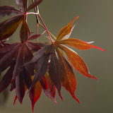 Acer Maple leaves Stock Images