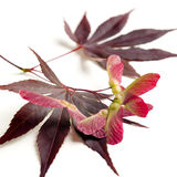 Acer Maple leaves Royalty Free Stock Photo