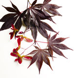 Acer Maple leaves Royalty Free Stock Image