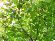 Acer maple underneath of tree in full green leaf. Branches in brown angling off. Round leaves royalty free stock photography