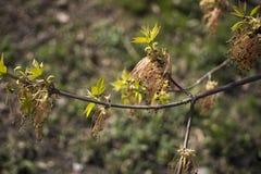 Acer negundo开花的树分支,在绽放,sprintime季节,特写镜头细节视图的令人惊讶的绿色红色花 免版税图库摄影