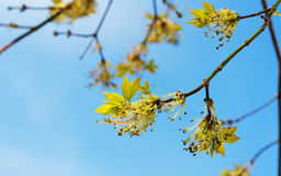 Acer negundo branch with flowers in spring royalty free stock image