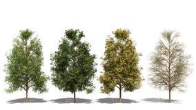 Acer negundo (fyra säsonger) royaltyfri illustrationer