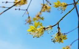 Acer-negundo Niederlassung mit Blumen im Frühjahr Lizenzfreies Stockbild