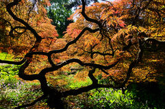 Acer palmatum Stock Photos