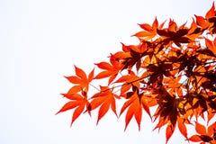 Acer-palmatum, allgemein bekannt als palmate Ahorn auf weißem Hintergrund Lizenzfreie Stockfotografie