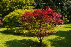 Acer-palmatum, allgemein bekannt als palmate Ahorn im Garten Lizenzfreie Stockfotos