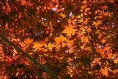 Acer-palmatum, allgemein bekannt als palmate Ahorn, japanischer Ahorn oder glatter Japanisch-Ahorn Stockfotos