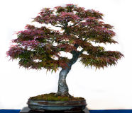 Acer palmatum als Bonsaisbaum Stockfoto