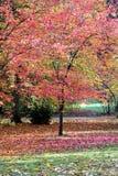 Acer palmatum Baum Lizenzfreie Stockfotografie