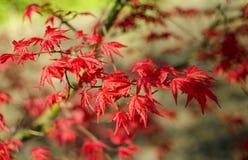 Acer palmatum'Beni-maico 'filialer close upp royaltyfri bild
