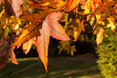Acer-palmatum Blätter Stockfoto
