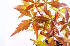 Acer-palmatum Blätter Stockfotografie