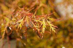 Acer-palmatum Blätter Stockfotos