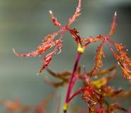 Acer-palmatum Blätter Lizenzfreie Stockfotos