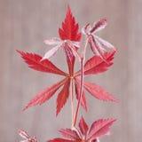 Acer-palmatum Blatt Lizenzfreie Stockfotografie