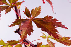 Acer-palmatum Blatt Stockbild