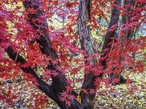 Japanese Maple Acer palmatum Stock Images