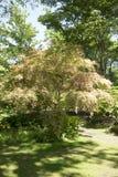 Acer palmatum` Chishio förbättrade `, Arkivbild