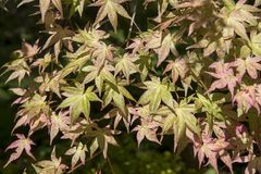 Acer palmatum` Chishio förbättrade `, Royaltyfri Bild