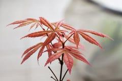 Acer palmatum in close up Stock Image