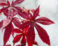 Acer palmatum in close up Stock Photo