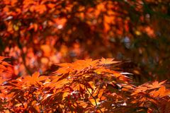 Acer palmatum, commonly known as palmate maple, Japanese maple stock photography