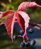 Japanese Maple Acer Palmatum fall colors royalty free stock image