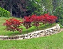 Acer palmatum degli aceri giapponesi Fotografia Stock